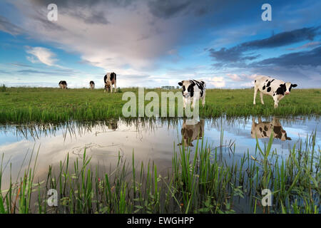 cows on pasture by river over sunset sky - Stock Photo