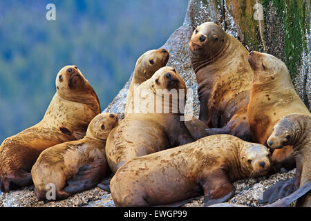 Steller Sea Lions resting on a rock in Fife Sound, British Columbia, Canada. - Stock Photo