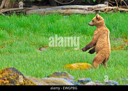 Coastal Grizzly bear (Ursus arctos)standing up in a green sanctuary, checking the situation, British Columbia Mainland, - Stock Photo