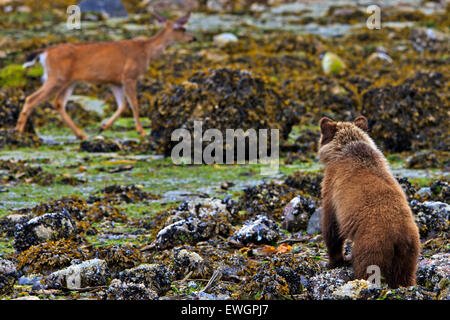 Coastal Grizzly bear cub looking at passing deer, at low tide on the British Columbia Mainland, Canada - Stock Photo