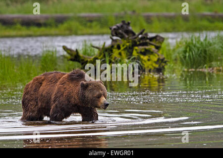 Coastal Grizzly bear searching for food at low tide on the British Columbia Mainland, Canada - Stock Photo