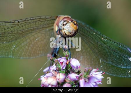 Common Darter Dragonfly (sympetrum striolatum) - Stock Photo