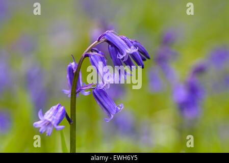 Bluebell, Hyacinthoides non-scripta, Endymion non-scriptus, wildflower, Carstramon Wood, Dumfries & Galloway, Scotland - Stock Photo