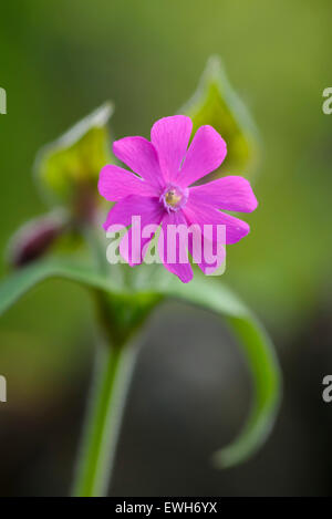 Red Campion, Silene dioica, wildflower, Dumfries & Galloway, Scotland - Stock Photo