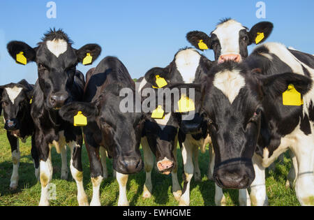 Black and white cows looking in the camera - Stock Photo