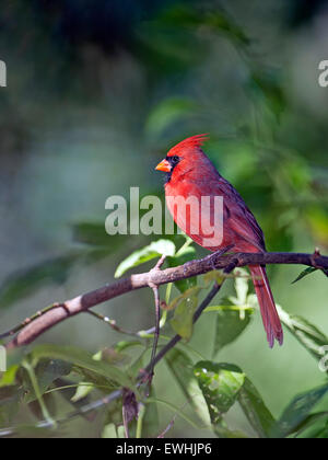 Male Northern Cardinal Perched on a Branch - Stock Photo