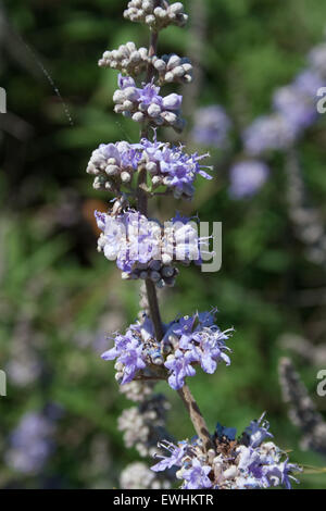 Closeup of Chaste Tree / Monk's Pepper blossoms and branch sp. Vitex agnus-castus 'ligaria'  Lemnos / limnos Island, - Stock Photo