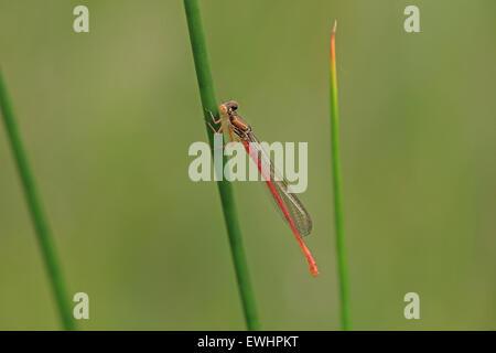 Small Red Damsel Damselfly (Ceriagrion tenellum) - Stock Photo