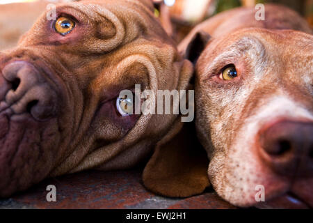 Close up of two very expressive dogs faces laying down next to each other - Stock Photo
