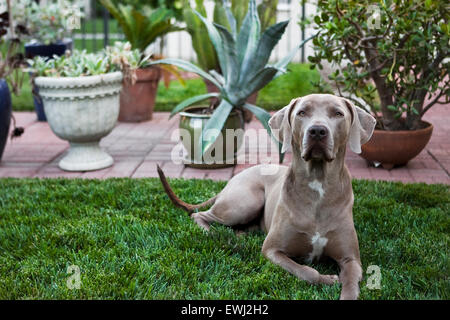 Regal Weimaraner dog laying down in lush backyard grass in front of multiple potted plants - Stock Photo