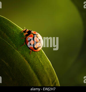 Ladybug (ladybird) crawling on the edge of a green leaf (South Africa - Mpumalanga) - Stock Photo