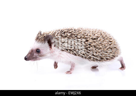Small male of hedgehog on white background. - Stock Photo