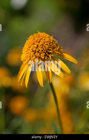 Yellow coneflower (Echinacea paradoxa) 'Secret Glow' - USA - Stock Photo