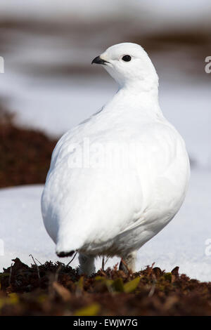 female Rock ptarmigan that is in the spring tundra - Stock Photo