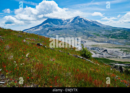 Mount Saint Helens with a wildflower-covered hillside in the foreground. - Stock Photo