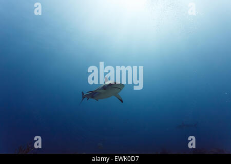 Caribbean reef shark (Carcharhinus perezii) swims in open blue waters with sun rays above - Stock Photo