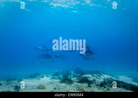 Pod of 14 wild common bottlenose dolphin (Tursiops truncatus) swimming underwater near coral reef - Stock Photo