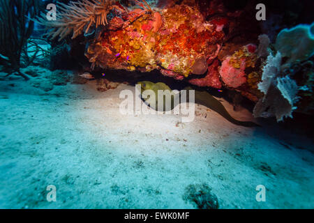 Green moray (Gymnothorax funebris) eel in crevice below coral reef - Stock Photo