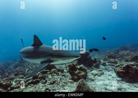 Caribbean reef shark (Carcharhinus perezii) swims in blue water above coral reef - Stock Photo