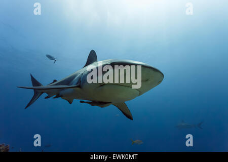 Close up of caribbean reef shark (Carcharhinus perezii) swims in open blue waters with remora fish attached - Stock Photo
