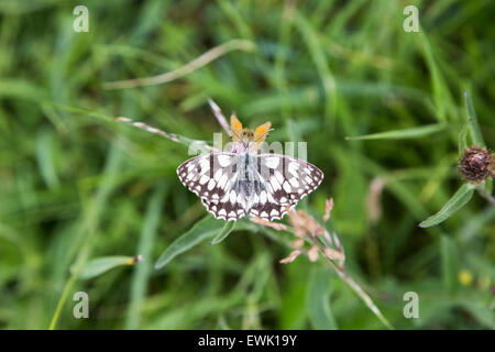 Black and white Marbled White butterfly (Melanargia galathea), photographed in summer on grassland at Box Hill, - Stock Photo