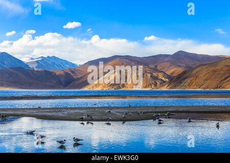 View of Pangong Lake in the morning with the flock of sea gull are feeding and swimming - Stock Photo