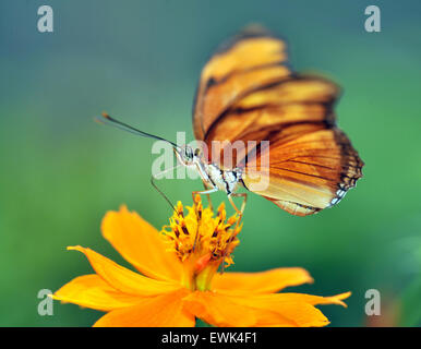 monarch butterfly feeding on yellow flower, san jose, costa rica, central america - Stock Photo
