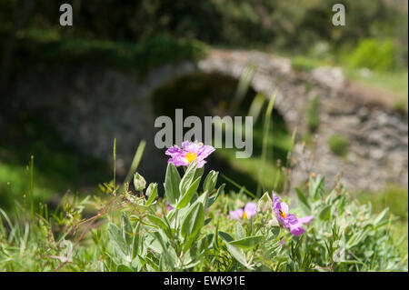 Old bridge spanning a little creek, with wild flowers blossoming, in Pyrénées-Orientales, France - Stock Photo