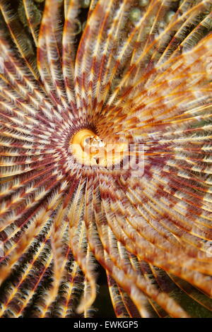 Underwater sea life, head of a magnificent feather duster worm, Sabellastarte magnifica, Caribbean sea - Stock Photo
