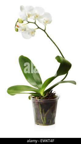 white orchid in the pot isolated on the white background. - Stock Photo