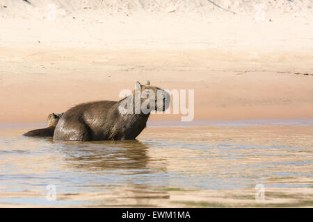 Wild, adult female Capybara, Hydrochaeris hydrochaeris, with her pup in a river in the Pantanal, Brazil, South America - Stock Photo