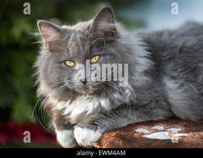 Young female Norwegian Forest cat - Stock Photo