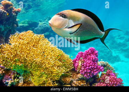 Red Sea - underwater view at fishes and coral reef, Marsa Alam, Egypt - Stock Photo