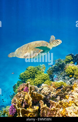 Marsa Alam - underwater view at Sea Turtle and the reef, Red Sea, Egypt - Stock Photo