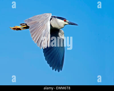 Black-crowned Night Heron in flight - Stock Photo
