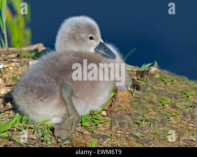 Mute Swan Cygnet Resting on Shoreline - Stock Photo
