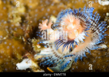 Christmas tree worm, Spirobranchus sp., Anilao, Batangas, Philippines, Pacific - Stock Photo