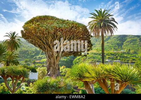 Dragon Tree, Dracaena draco, La Orotava, Tenerife, Canary Islands, Spain - Stock Photo