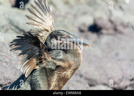 Flightless Cormorant spreading its wings in the Galapagos Islands in Ecuador - Stock Photo