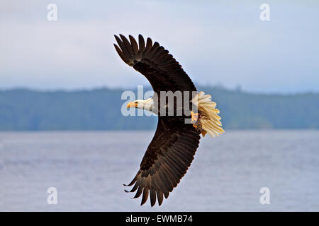 Bald eagle in flight with a fresh caught rock fish in its powerful talons, Pacific Ocean off the British Columbia - Stock Photo