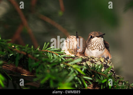 Rufous hummingbird nest with two 14 day old baby chicks, Selasphorus rufus, Northern Vancouver Island, British Columbia, - Stock Photo