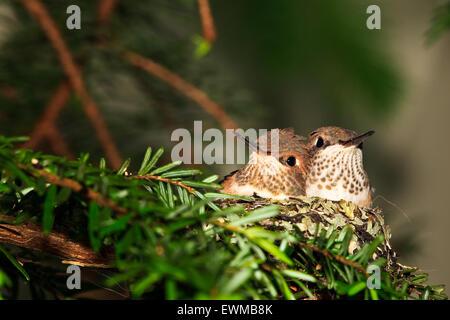 Rufous hummingbird nest with two 14 day old baby chicks, Selasphorus rufus, Northern Vancouver Island, Britih Columbia, - Stock Photo