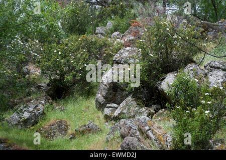 Rockroses growing in a granite mountain. Photo taken in Iruelas Valley Natural Park, Avila, Spain - Stock Photo