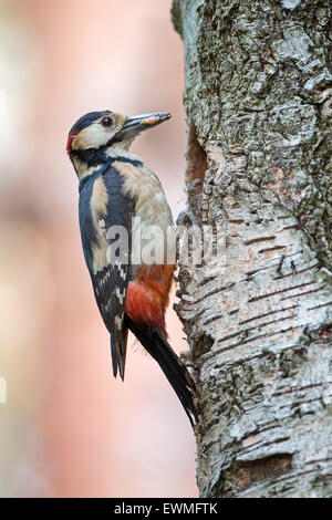 Great spotted woodpecker (Dendrocopos major) adult bringing food to the breeding burrow, male, Middle Elbe Biosphere - Stock Photo