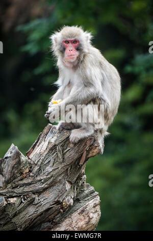 Japanese macaque (Macaca fuscata) sitting on old tree stump, portrait, captive - Stock Photo