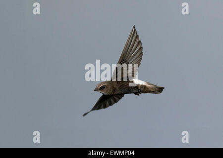 little swift (Apus affinis) in flight - Stock Photo
