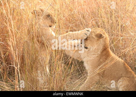 Lion Cubs Play fighting, South Africa - Stock Photo