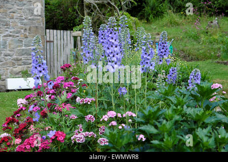 Blue delphiniums and Sweet William flowers growing in a herbaceous border garden bed  in a 'country garden'  in - Stock Photo