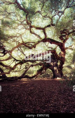 Angel Oak Tree, Charleston, South Carolina, USA