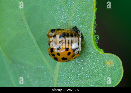 Harlequin ladybird / multicolored Asian lady beetle (Harmonia axyridis) emerged freshly out of its pupa - Stock Photo